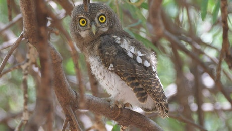 Yellow-eyed owl standing on a tree