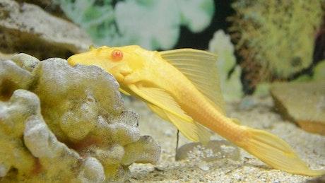 Yellow fish laying still