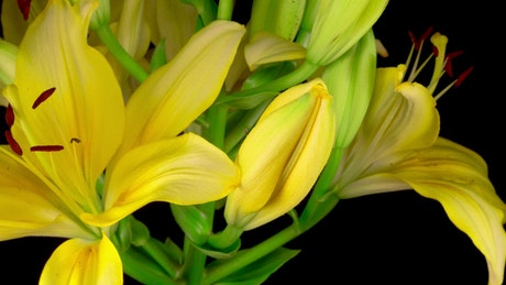 Yellow lily flower opening