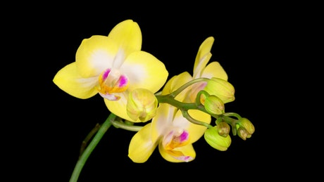 Yellow orchids opening on a black background