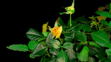 Yellow rose on the bush opens