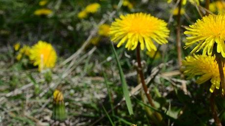 Yellow wildflowers in a field