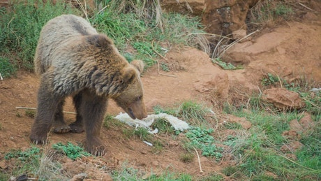 Young brown bear walking through the field