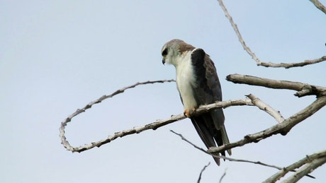 Young Eagle in the tree tops