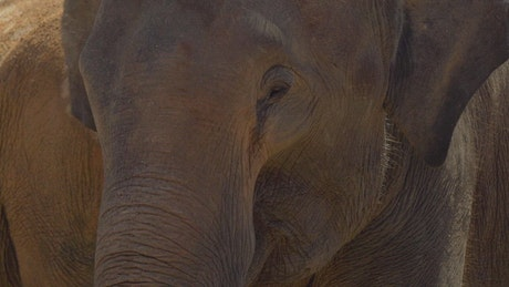 Young elephant moving its ears