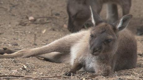 Young Kangaroo laying on the ground
