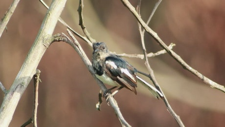 Young Magpie alone on a tree