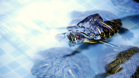 Young turtles swimming
