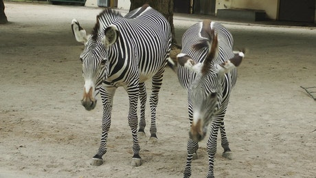 Young zebras in the zoo