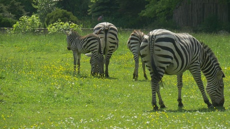 Zebras grazing in a green meadow