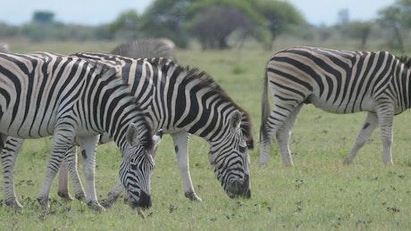 Zebras grazing in the field