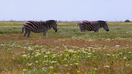 Zebras grazing in the meadow