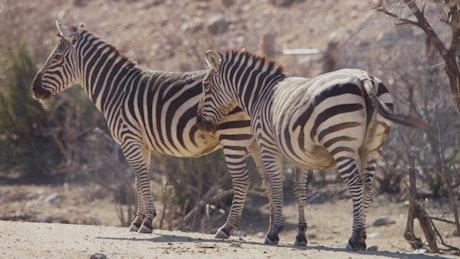Zebras standing in the desert sun