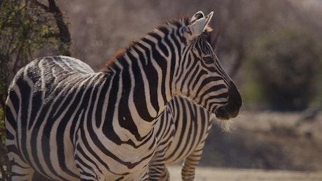 Zebras sunbathing in the desert