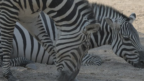 Zebras together in a Zoo