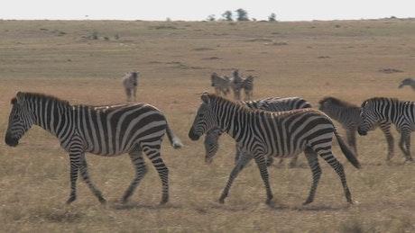 Zebras walking across dry grass