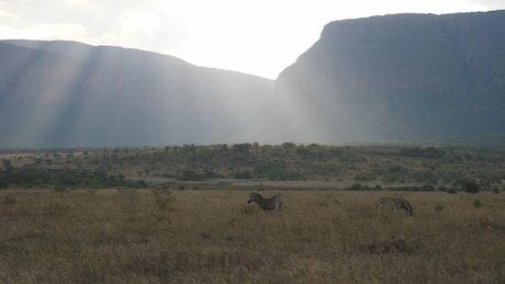 Zebras with sun shining over the savanna