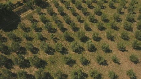 Zooming out of an Olive field